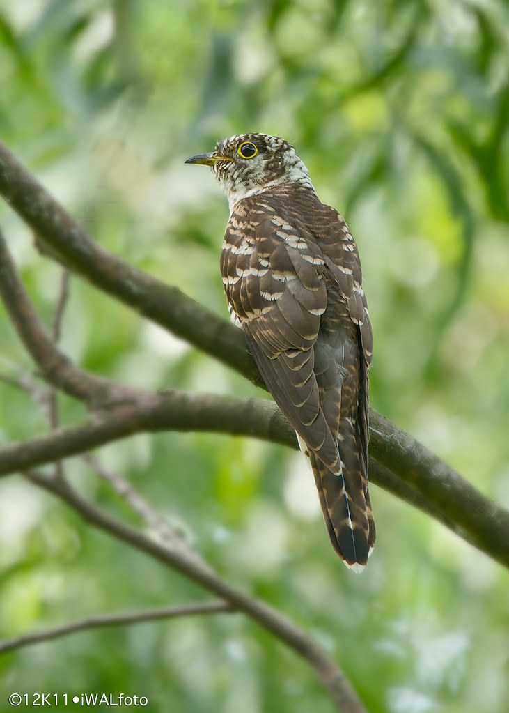 Indian Cuckoo