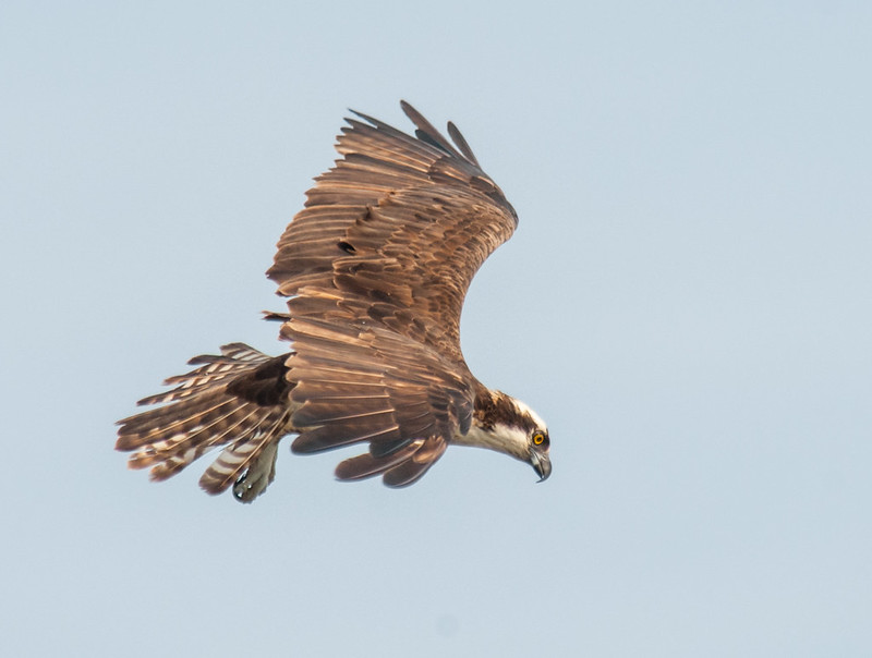 August Osprey hunting