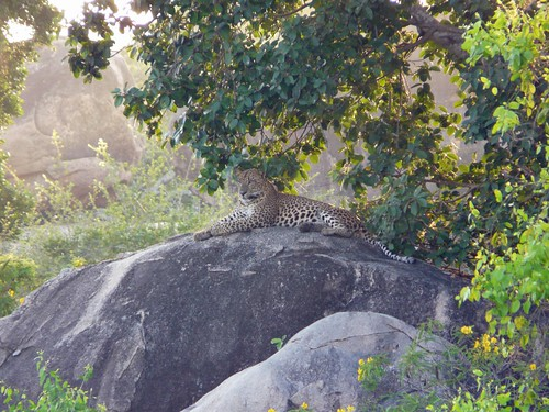 Imagen del leopardo en el Yala National Park (Sri Lanka)