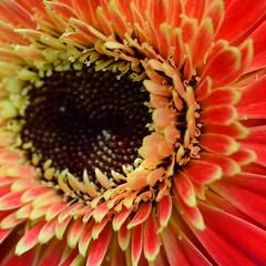 flower, gerbera, macro photography, flora, close-up, petal,