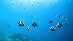 Bannerfish bay dive site Dahab Egypt