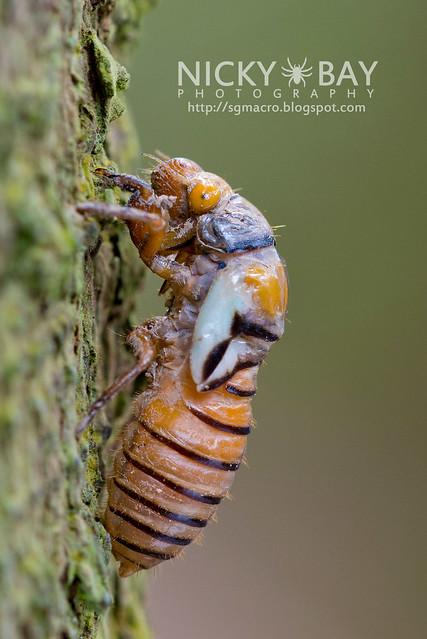 Black and Golden Cicada (Huechys fusca) - DSC_8987