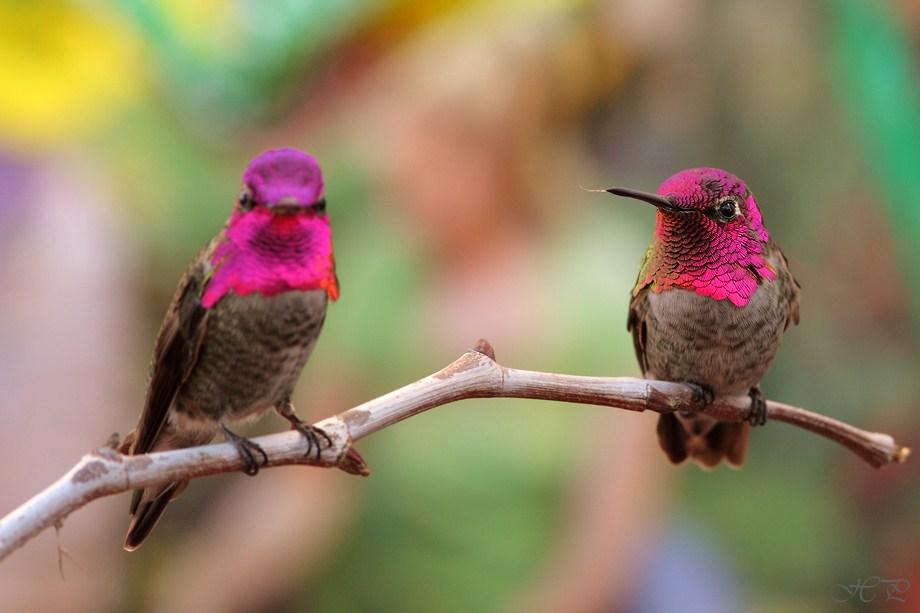 Anna's Hummingbird 112312-4