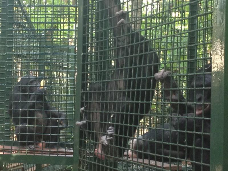 268 bonobos