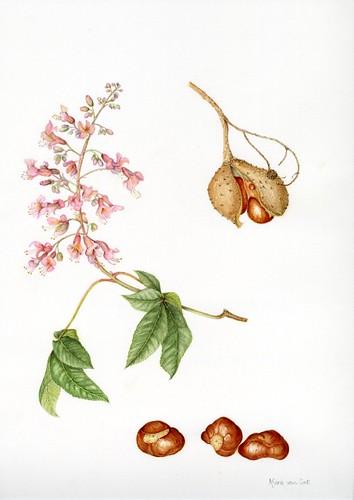 Marie van Lint Aesculus hippocastanum (Horse Chestnut)