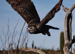 112812-058, Great Horned Owl