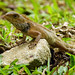 Small photo of Agamid Lizard