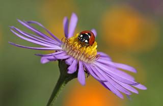 Ladybird on aster