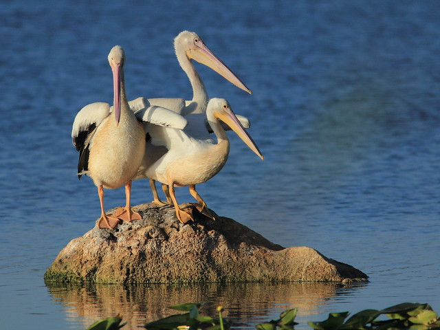 Pelican arrangement 2-20121201