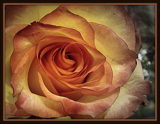 A torn rose