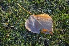 frosted fall leaf by Julie70