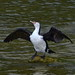 Small photo of Pied Shag