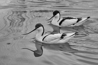 avocets making waves