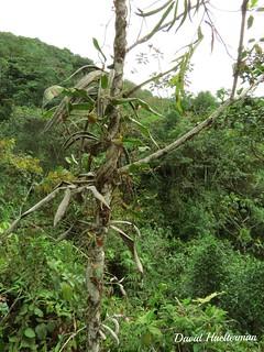 Oncidium globuliferum trepando sobre un arbol in situ (vean los detalles ampliando esta foto), Valle del Dagua, Valle del Cauca, Colombia