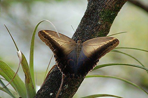 Usually-unseen side of Owl butterfly by jungle mama