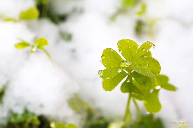 Clover in the snow
