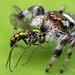 Paraphidippus aurantius emerald jumping spider by Tibor Nagy