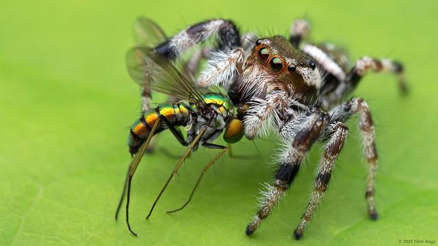 Paraphidippus aurantius emerald jumping spider