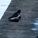 Mating season for this pair of Pied Oystercatchers