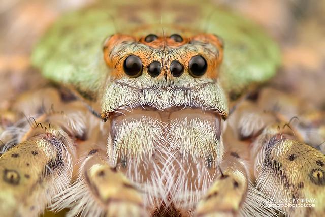 Lichen huntsman spider (Pandercetes sp.) - DSC_8584b