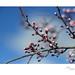 Sakura Budding by heritagefutures
