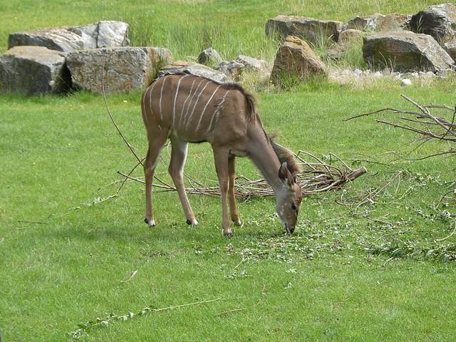 Großer Kudu, Blijdorp Rotterdam