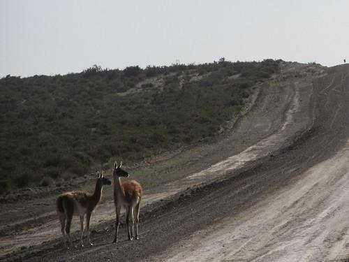 La Peninsula de Valdés: des guanacos (de la même famille que les lamas, les alpagas et les vigognes)