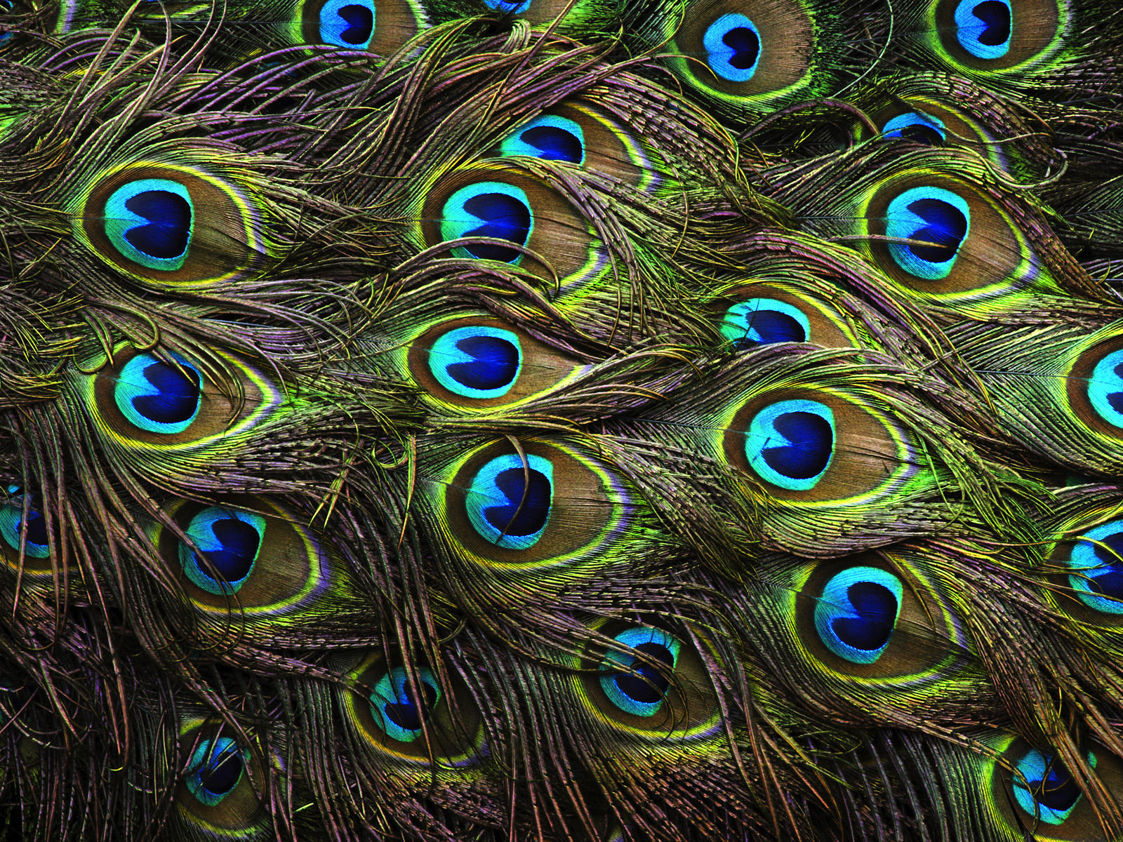 Beautiful peacock feathers flickr photo sharing - Beautiful peacock feather ...