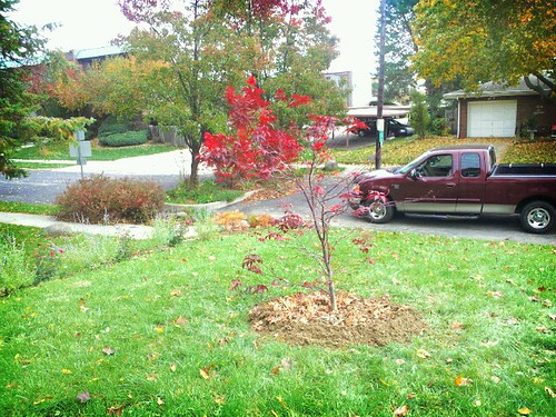 My new Japanese maple.... by tridoc927