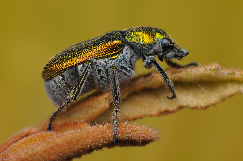 Green Scarab Beetle - Diphucephala sp