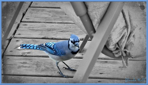 blue autumn ontario canada bird fall texture photoshop october jay fuji artistic feathers gimp georgetown bluejay deck finepix 2012 greyscale selectivecolouring exr specanimal f770 skeletalmess paintedcanvas2 glendahall