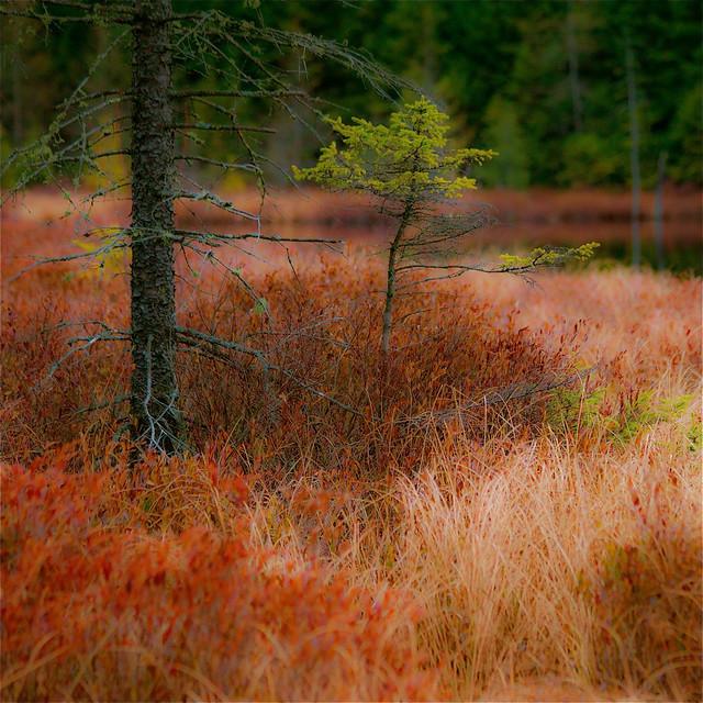 L'automne explose... crinière rouge au Lac à la Hache... un petit arbre résiste...!!!