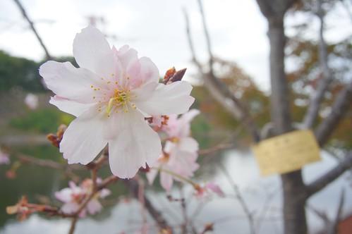 十月桜/Prunus × subhirtella cv Autumnalis.