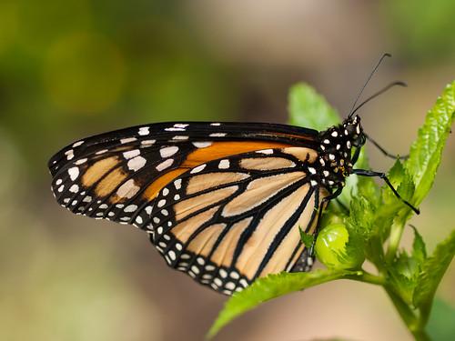 帝王斑蝶。(圖:wwarby)
