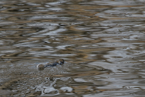 Swimming Squirrel_46892.jpg
