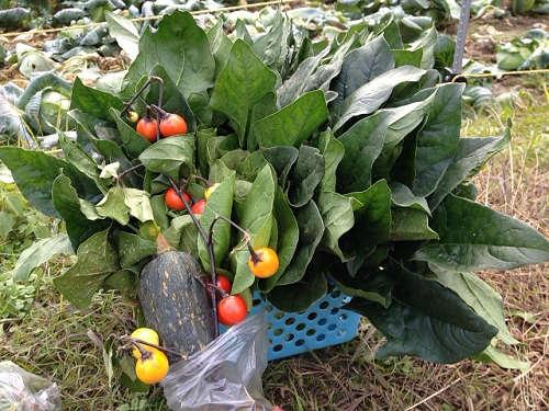 新鮮野菜を自分で収穫『はたけの八百屋さん』@明日香村