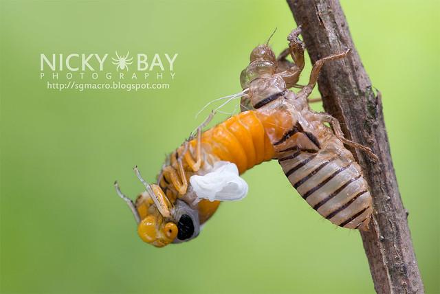 Black and Golden Cicada (Huechys fusca) - DSC_9385