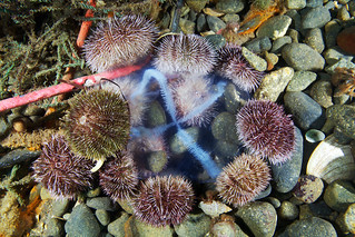 Sea urchins feeding on Cross jellyfish
