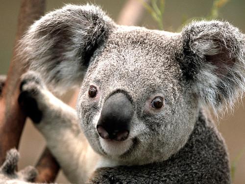 [フリー画像素材] 動物 (哺乳類), 哺乳類 (その他), コアラ ID:201211271000
