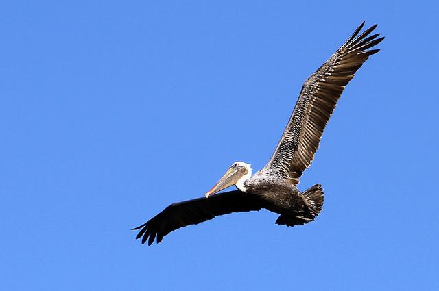 pelicanflight5201