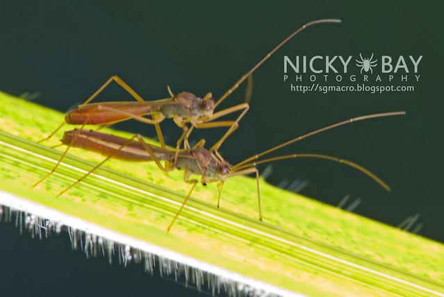 Broad-Headed Bugs (Alydidae) - DSC_4082