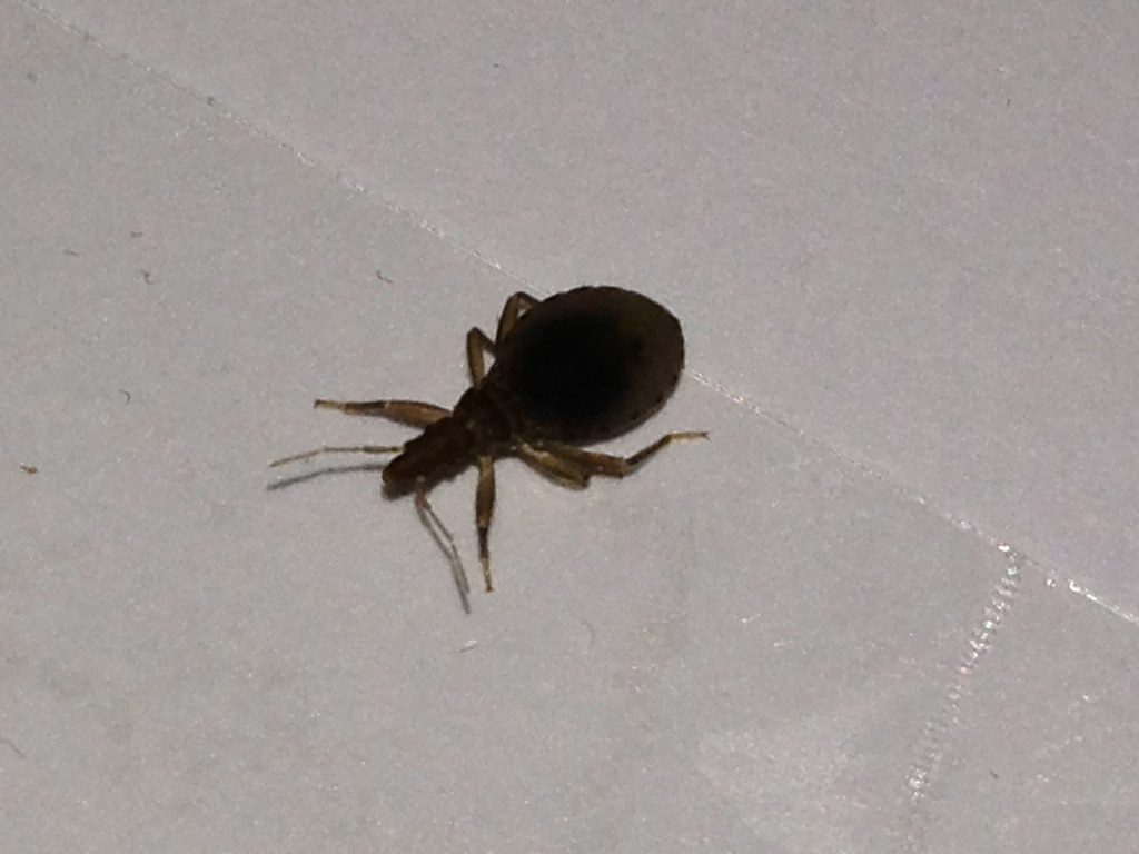 Id Bed Bug Probably Not A Bb A Kissing Bug Nymphs 171 Got