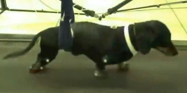 Transplante de Células-Tronco do Focinho de cães