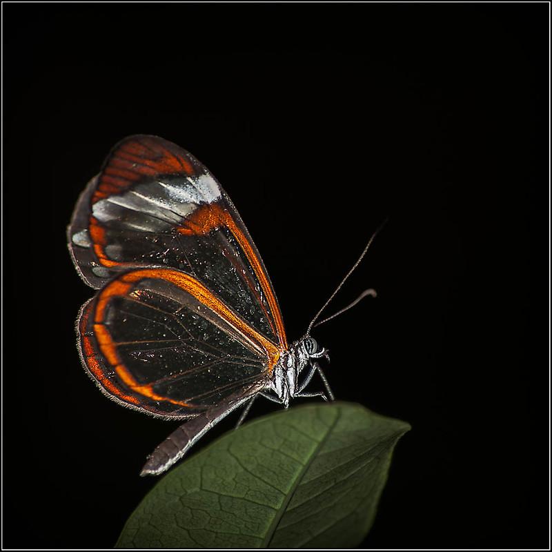 Greta Oto - Mariposa de cristal