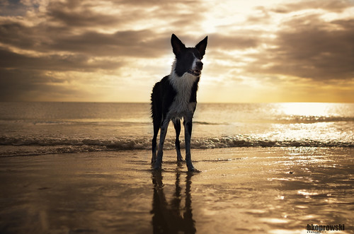sunset portrait dog reflection beach gulfofmexico water model sand pentax florida lifestyle pup tobacco siren fortmeyersbeach sigma28mm pentaxk5 briankoprowski bkoprowski