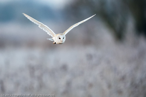 uk naturereserve owl ely nationaltrust cambridgeshire barnowl tytoalba wicken wickenfen