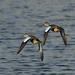 Blue-winged Teals_148 (Terceira, Azores, 9 Oct 2008) © Dominic Mitchell