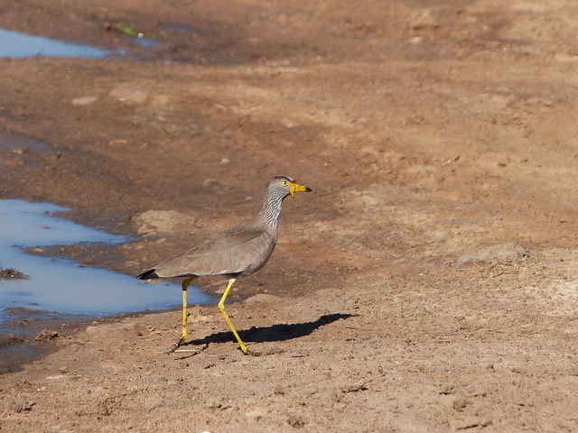 Header of African wattled lapwing