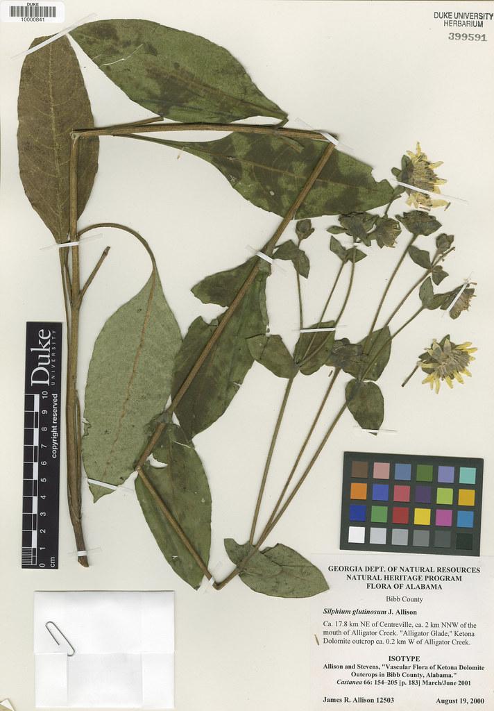 Asteraceae_Silphium glutinosum
