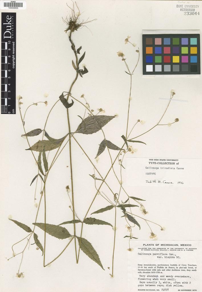 Asteraceae_Galinsoga triradiata